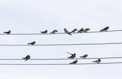 τα πουλιά καταπίνουν τη συνεδρίαση στα καλώδια στον ουρανό Στοκ Εικόνες