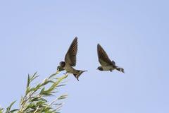 Τα πουλιά καταπίνουν το πέταγμα στον ουρανό δίπλα διαδίδουν τα φτερά του Στοκ Φωτογραφίες