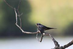 Τα πουλιά νεοσσών καταπίνουν τη συνεδρίαση σε έναν κλάδο και ζητούν να φάνε Στοκ Εικόνες
