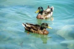 Τα πουλιά παπιών κολυμπούν στο νερό Στοκ Φωτογραφία