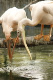 Τα πουλιά παλεύουν για το νερό! Στοκ Εικόνα