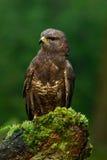 Τα πουλιά προσεύχονται την κοινή συνεδρίαση καρακαξών (buteo Buteo) στο κολόβωμα δέντρων βρύου με το θολωμένο πράσινο δάσος στο υ Στοκ εικόνα με δικαίωμα ελεύθερης χρήσης