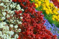 Τα πολύχρωμα διακοσμητικά λουλούδια κλείνουν επάνω το καλοκαίρι Στοκ φωτογραφία με δικαίωμα ελεύθερης χρήσης