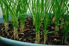 Τα πράσινα κρεμμύδια αυξάνονται Στοκ φωτογραφία με δικαίωμα ελεύθερης χρήσης