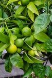 Τα πράσινα πορτοκαλιά φρούτα στις εγκαταστάσεις από το πορτοκαλί δέντρο citrus sinensis κλείνουν επάνω Στοκ Εικόνα