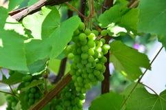 Τα πράσινα σταφύλια κρασιού θάμνων μια ηλιόλουστη ημέρα Στοκ Εικόνες