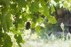 Τα πράσινα σταφύλια συγκεντρώνονται στον ήλιο τις ακτίνες στοκ φωτογραφίες με δικαίωμα ελεύθερης χρήσης