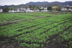 Τα πράσινα στον τομέα στοκ εικόνες