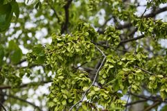 Τα πράσινα φρούτα, γύρω από αέρας-διασκορπισμένο samara της λεύκας Ulmus στοκ φωτογραφίες με δικαίωμα ελεύθερης χρήσης