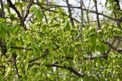 Τα πράσινα φρούτα, γύρω από αέρας-διασκορπισμένο samara της λεύκας Ulmus στοκ φωτογραφία με δικαίωμα ελεύθερης χρήσης