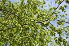 Τα πράσινα φρούτα, γύρω από αέρας-διασκορπισμένο samara της λεύκας Ulmus στοκ εικόνες με δικαίωμα ελεύθερης χρήσης