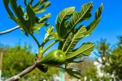 Τα πράσινα φρούτα του δέντρου σύκων ωριμάζουν σε έναν κλάδο Στοκ Εικόνα
