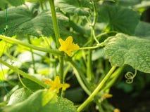 Τα πράσινα φύλλα αγγουριών και kukes η άνθηση με τα κίτρινα λουλούδια στον κήπο, κλείνουν επάνω την άποψη Ανάπτυξη αγγουριών Στοκ εικόνες με δικαίωμα ελεύθερης χρήσης