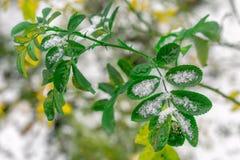Τα πράσινα φύλλα του φυτού που καλύπτεται με το χιόνι στοκ φωτογραφίες