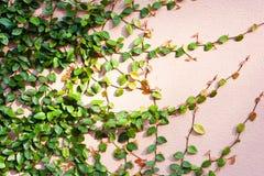 Τα πράσινα φύλλα υφαίνουν στον τοίχο Στοκ Εικόνα