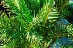 Τα πράσινα φύλλα φοινικών κλείνουν επάνω στοκ φωτογραφία με δικαίωμα ελεύθερης χρήσης