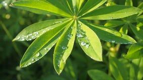 Τα πράσινα φύλλα Lupine κλείνουν επάνω με μια δροσιά πτώσης σταγόνων βροχής μετά από τη βροχή στον ήλιο Θερινό υπόβαθρο φύσης φιλμ μικρού μήκους