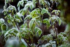 Τα πράσινα φύλλα nettle κάλυψαν με τον παγετό τον πρώτο παγετό στο θόριο στοκ φωτογραφία με δικαίωμα ελεύθερης χρήσης