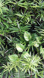 Τα πράσινα φύλλα διαμορφώνουν ένα υπόβαθρο με τα στενά φύλλα και philodendron την προσθήκη της πολυπλοκότητας Στοκ φωτογραφίες με δικαίωμα ελεύθερης χρήσης