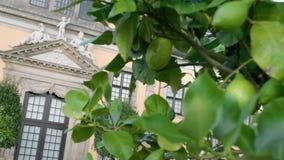 Τα πράσινα ωριμάζοντας λεμόνια αυξάνονται στο δέντρο μετατόπιση της εστίασης από τα εσπεριδοειδή στο υπόβαθρο ενός μεσαιωνικού πα φιλμ μικρού μήκους