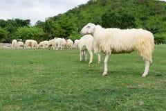 Τα πρόβατα απολαμβάνουν στη βοσκή σε έναν πράσινο τομέα Στοκ φωτογραφίες με δικαίωμα ελεύθερης χρήσης