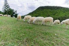 Τα πρόβατα απολαμβάνουν στη βοσκή σε έναν πράσινο τομέα Στοκ Φωτογραφίες