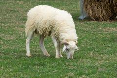 Τα πρόβατα απολαμβάνουν στη βοσκή σε έναν πράσινο τομέα Στοκ εικόνες με δικαίωμα ελεύθερης χρήσης