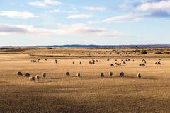 Τα πρόβατα απολαμβάνουν τον τομέα στην Παταγωνία στη Χιλή Στοκ φωτογραφίες με δικαίωμα ελεύθερης χρήσης