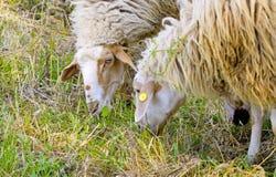 Τα πρόβατα βόσκουν και βόσκουν στη χλόη Στοκ εικόνες με δικαίωμα ελεύθερης χρήσης