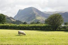 Τα πρόβατα βόσκουν κοντά στην περιοχή λιμνών Buttermere Στοκ Φωτογραφίες