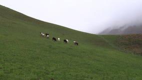 Τα πρόβατα βόσκουν στα λιβάδια βουνών, Βαυαρία απόθεμα βίντεο