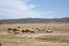 Τα πρόβατα βόσκουν στην περιοχή Swartland της Νότιας Αφρικής Στοκ φωτογραφία με δικαίωμα ελεύθερης χρήσης