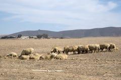 Τα πρόβατα βόσκουν στον τομέα σίτου στη Νότια Αφρική Στοκ φωτογραφίες με δικαίωμα ελεύθερης χρήσης