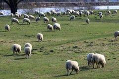 Τα πρόβατα είναι ζώα κοπαδιών στοκ εικόνες με δικαίωμα ελεύθερης χρήσης