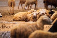 Τα πρόβατα είναι σε ένα αγρόκτημα προβάτων στο δασικό πάρκο στοκ εικόνα με δικαίωμα ελεύθερης χρήσης