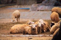 Τα πρόβατα είναι σε ένα αγρόκτημα προβάτων στο δασικό πάρκο στοκ φωτογραφίες