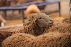 Τα πρόβατα είναι σε ένα αγρόκτημα προβάτων στο δασικό πάρκο στοκ εικόνες