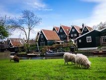 Τα πρόβατα και παραδοσιακός ξύλινος σε de Rijp Στοκ Εικόνα