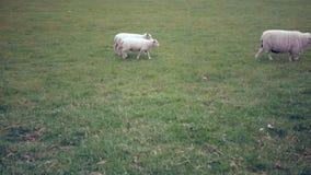 Τα πρόβατα με τα αρνιά περπατούν στο λιβάδι απόθεμα βίντεο