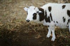 Τα πρόβατα με τέσσερα κέρατα Jacob αναπαράγουν Στοκ εικόνες με δικαίωμα ελεύθερης χρήσης