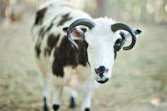 Τα πρόβατα με τέσσερα κέρατα Jacob αναπαράγουν Στοκ Εικόνες