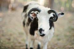 Τα πρόβατα με τέσσερα κέρατα Jacob αναπαράγουν Στοκ εικόνα με δικαίωμα ελεύθερης χρήσης