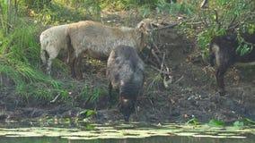 Τα πρόβατα πίνουν το νερό από τον ποταμό απόθεμα βίντεο