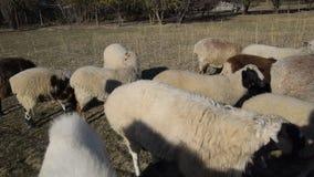 Τα πρόβατα πηγαίνουν λιβάδι στο λιβάδι και βόσκουν πρόβατα κοπαδιών απόθεμα βίντεο