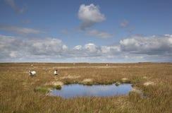 Τα πρόβατα στον άγριο κάπρο έπεσαν Στοκ Εικόνες