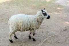 Τα πρόβατα της Panda στέκονται στο έδαφος στοκ εικόνες