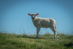 Τα πρόβατα τρώνε τη χλόη σε ένα ανάχωμα στοκ φωτογραφία