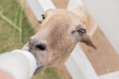 Τα πρόβατα τρώνε το γάλα Στοκ Εικόνα