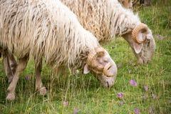 Τα πρόβατα των Πυρηναίων κλείνουν επάνω Στοκ Εικόνες