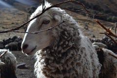 Τα πρόβατα Στοκ Εικόνες